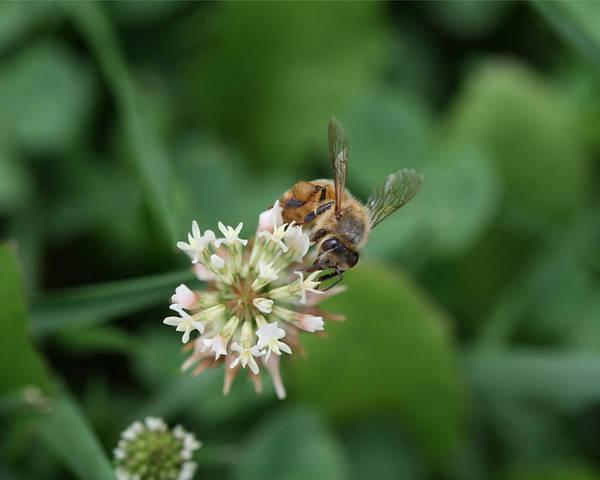 Photograph - Honeybee On Clover by Denise Beverly