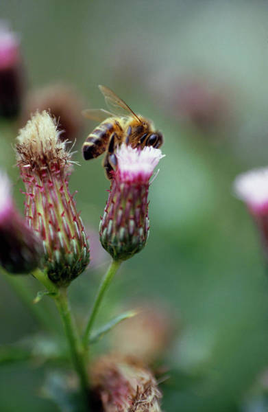 Pollination Photograph - Honeybee On Flower by G Newport/science Photo Library
