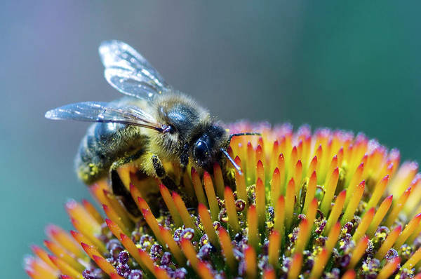 Honeybees Photograph - Honeybee On Flower by Louise Murray/science Photo Library