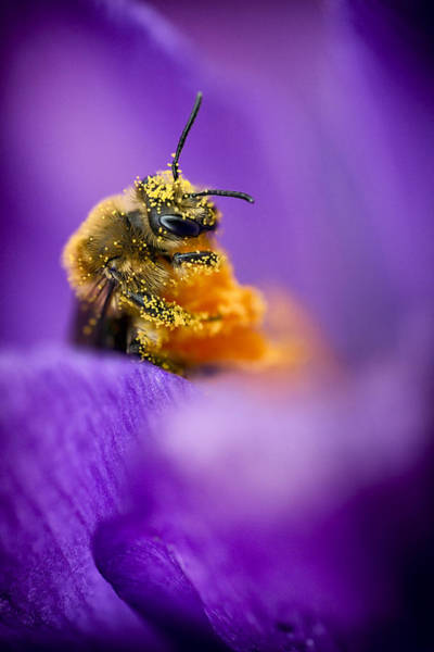 Bee Photograph - Honeybee Pollinating Crocus Flower by Adam Romanowicz