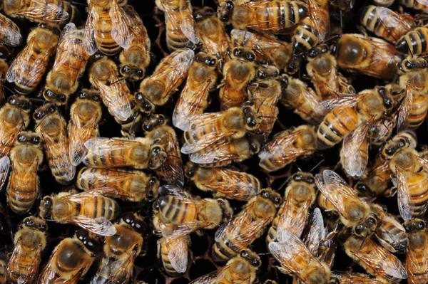 Wall Art - Photograph - Honeybees by Francesco Tomasinelli