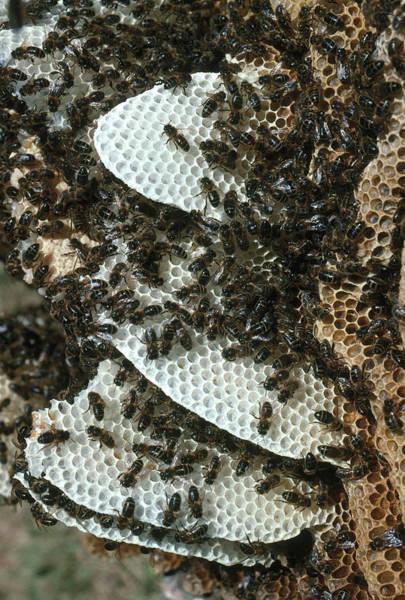 Wall Art - Photograph - Honeybees On Comb by A.b. Joyce