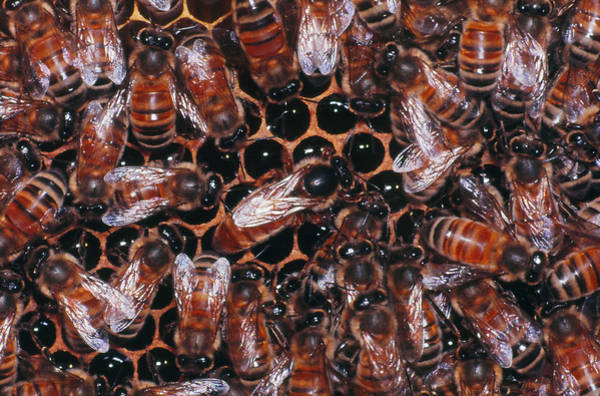 Wall Art - Photograph - Honeybees On Hive by Harry Rogers