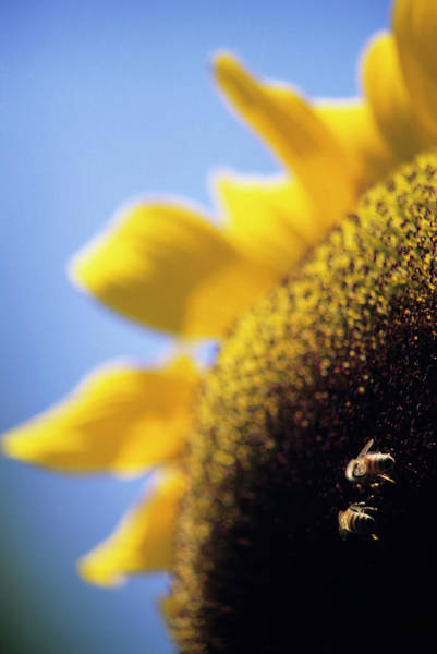 Honeybees Pollinating A Sunflower Art Print