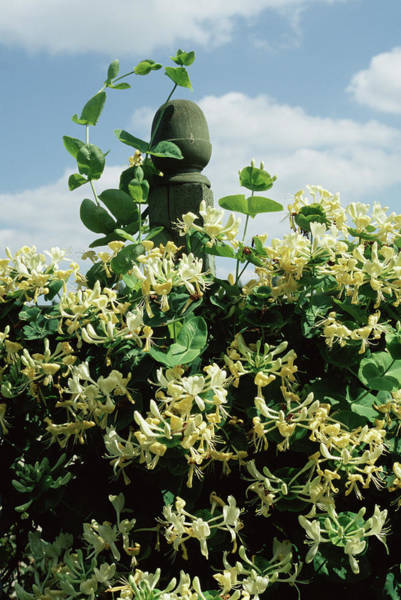Lonicera Photograph - Honeysuckle 'anne Fletcher' Flowers by Jim D Saul/science Photo Library