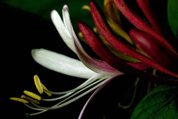 Lonicera Photograph - Honeysuckle On The Vine by Michael Eingle