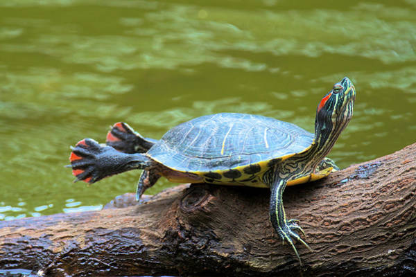 Painted Turtle Photograph - Hong Kong, A Painted Turtle Stretches by Richard Wright