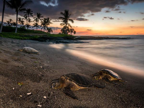 Photograph - Honu Sunset by Robert Yone