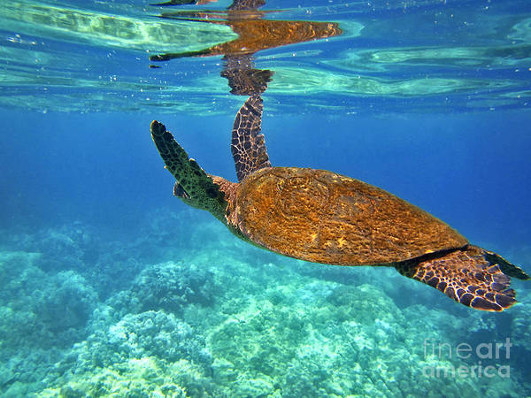 Photograph - Honu Wings Up by Bette Phelan