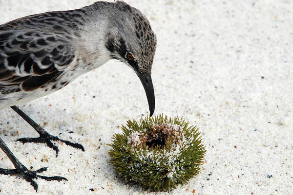 Galapagos Islands Wall Art - Photograph - Hood Mockingbird by Sue Ford/science Photo Library