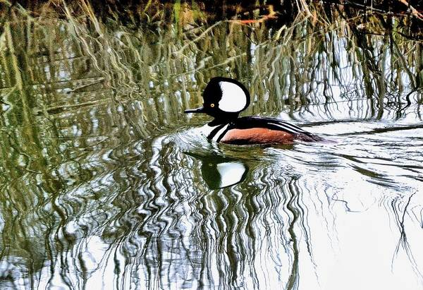 Photograph - Hooded Merganser by Bill Hosford