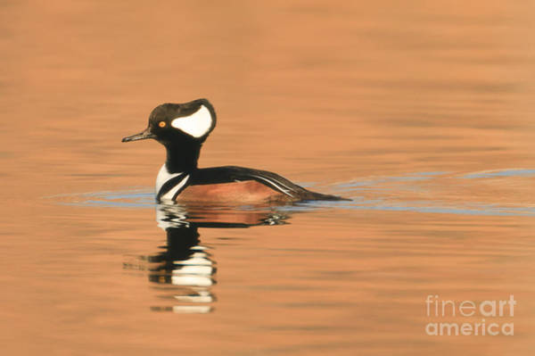 Photograph - Hooded Merganser by Clarence Holmes