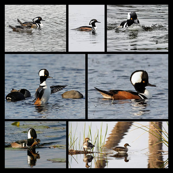 Photograph - Hooded Merganser Show by Dawn Currie