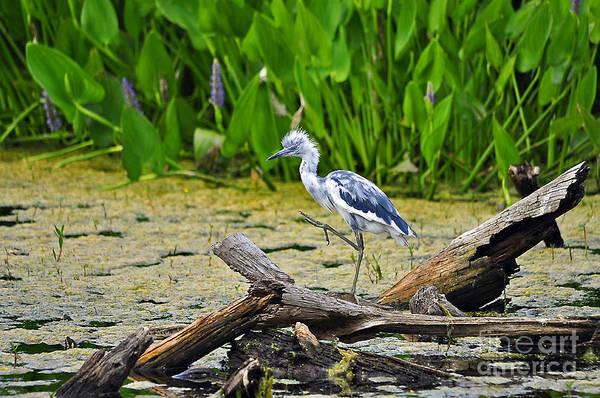 Little Blue Heron Photograph - Hooligan Heron by Al Powell Photography USA