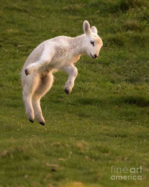 Sheep Photograph - Hop Hop Hop by Angel Ciesniarska