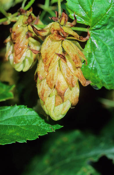 Hop Photograph - Hops (humulus Lupulus) by Bruno Petriglia/science Photo Library