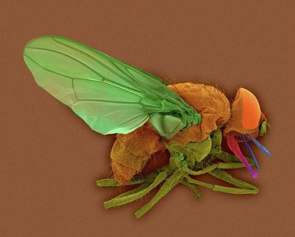 Pests Photograph - Horn Fly by Dennis Kunkel Microscopy/science Photo Library