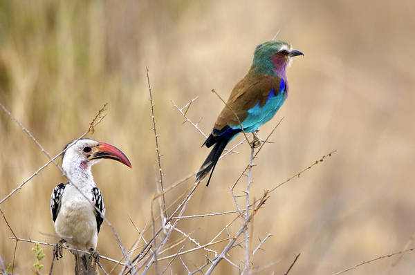 Hornbill Photograph - Hornbill And Roller by Dr P. Marazzi/science Photo Library