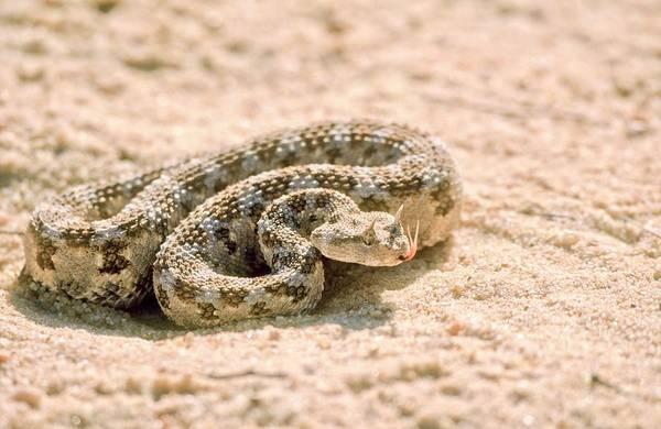 Serpent Photograph - Horned Desert Viper (cerastes Cerastes) by Photostock-israel