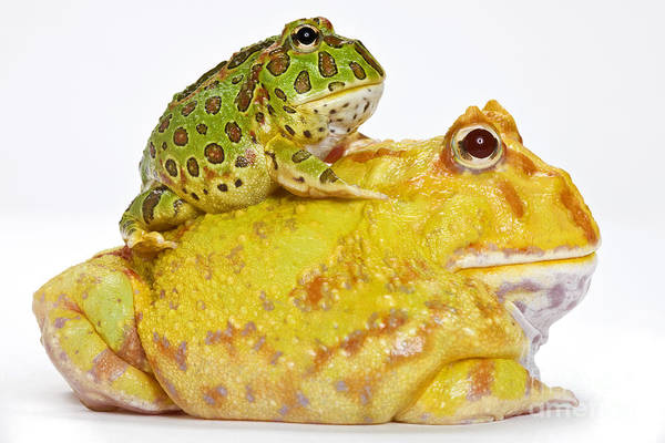 Photograph - Horned Frogs by Michel Gunther