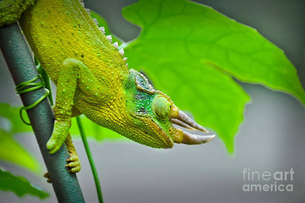 Photograph - Horned Lizard by Gary Keesler