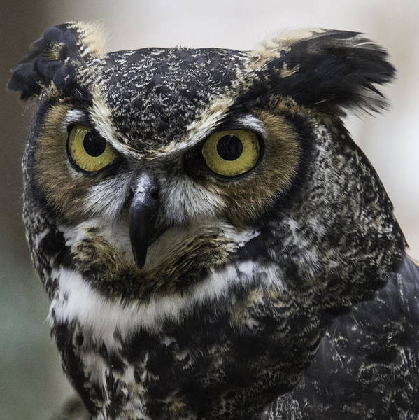 Photograph - Horned Owl by Donald Brown