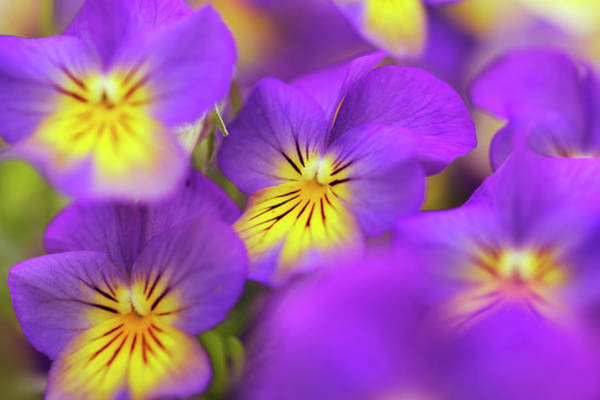 Selective Focus Photograph - Horned Pansies Or Horned Violets by Frank Krahmer