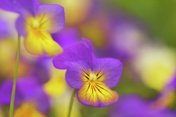 Wall Art - Photograph - Horned Pansy Or Horned Violet Viola by Frank Krahmer