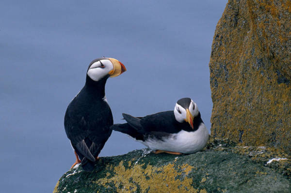Wall Art - Photograph - Horned Puffins by Jeffrey Lepore