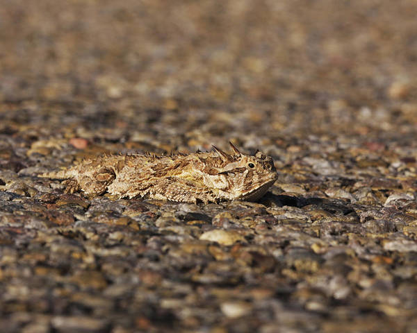 Photograph - Horned Toad by Charles McKelroy
