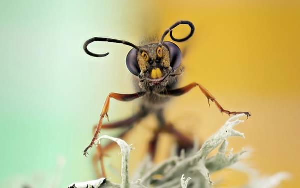 European Hornet Photograph - Hornet Head by Nicolas Reusens