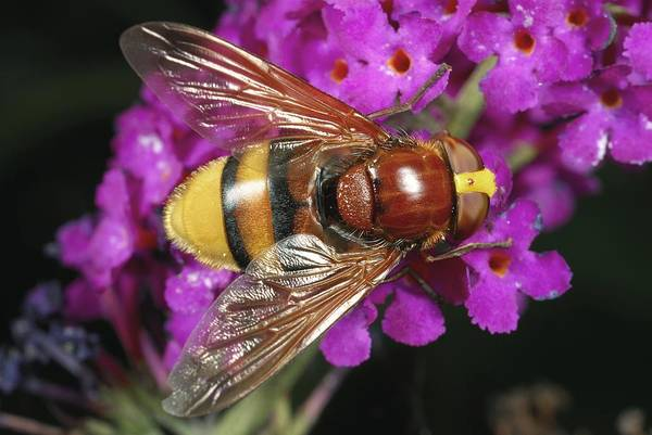 European Hornet Photograph - Hornet Mimic Hoverfly by Science Photo Library