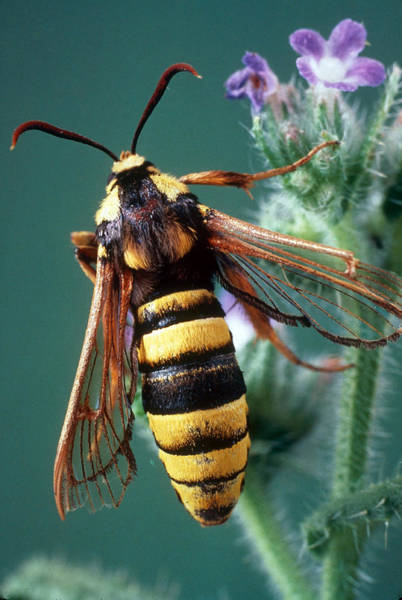 Clearwing Moth Photograph - Hornet Moth by Perennou Nuridsany