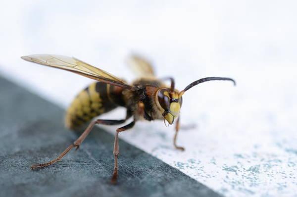 Wall Art - Photograph - Hornet On A Table by Sami Sarkis