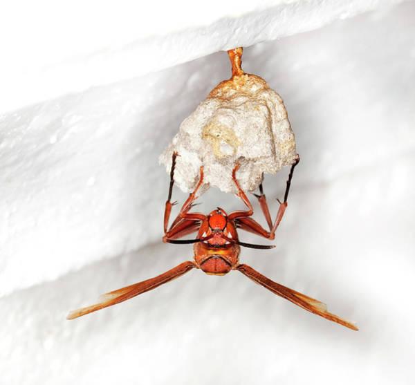 Animal Behaviour Photograph - Hornet Preparing Paper Nest by Natural History Museum, London