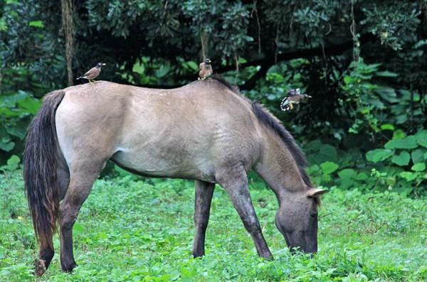 Steed Photograph - Horse And Three Myna Birds by Karon Melillo DeVega