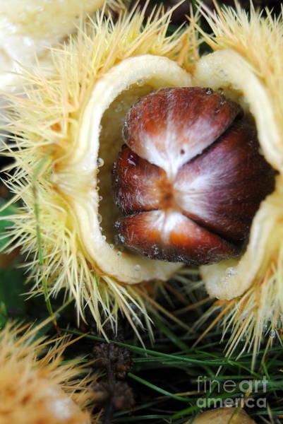Photograph - Horse Chestnut by Rachael Shaw