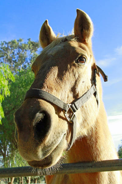 Wall Art - Photograph - Horse Face by Shoal Hollingsworth