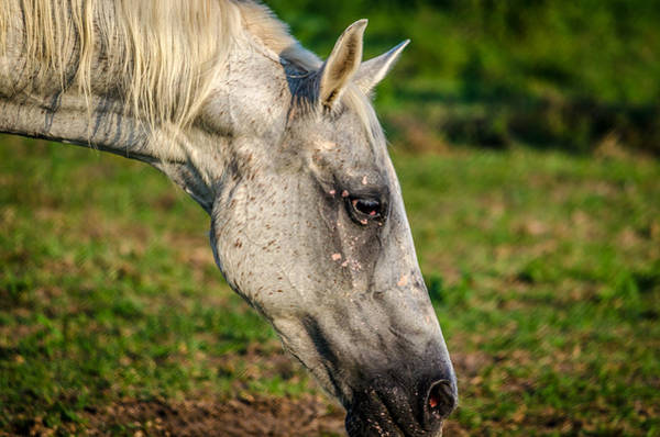 Photograph - Horse Grazing by David Morefield