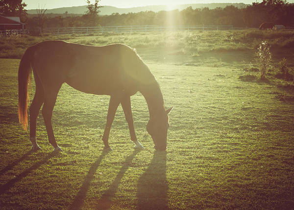 Photograph - Horse Grazing In Late Afternoon Sun by Eleanor Abramson