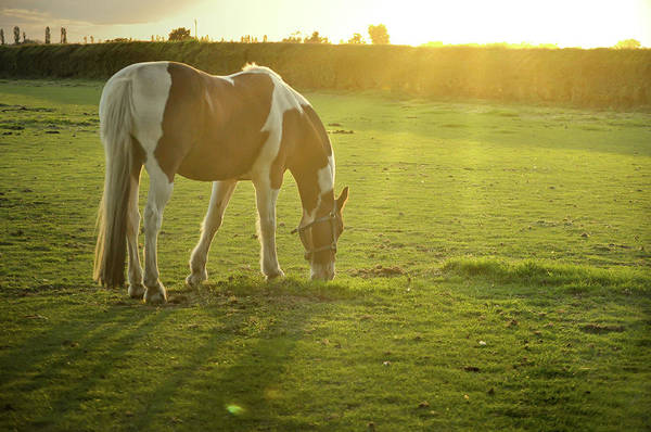Grazing Photograph - Horse Grazing by Starry Sky Photography