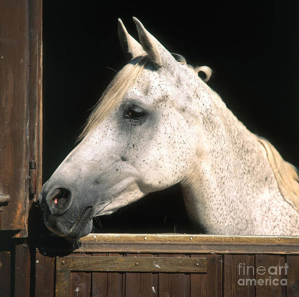 Photograph - Horse by Hans Reinhard