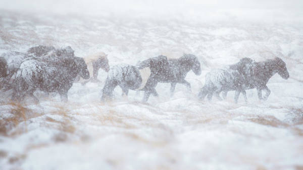 Herd Of Horses Wall Art - Photograph - Horse Herd Running Through Snow Storm by Coolbiere Photograph