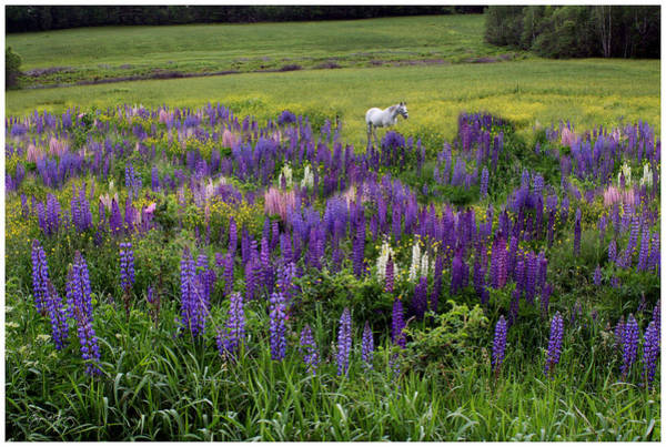 Photograph - Horse In Lupine Field by Wayne King