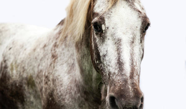Wall Art - Photograph - Horse On White Background by Alex Sharp