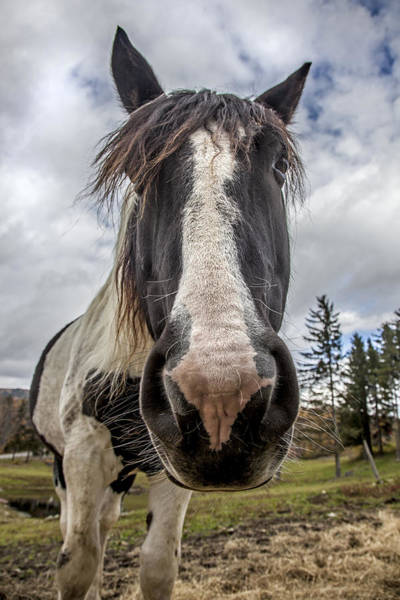 Photograph - Stowe Vermont Horse Portrait by Charles Harden