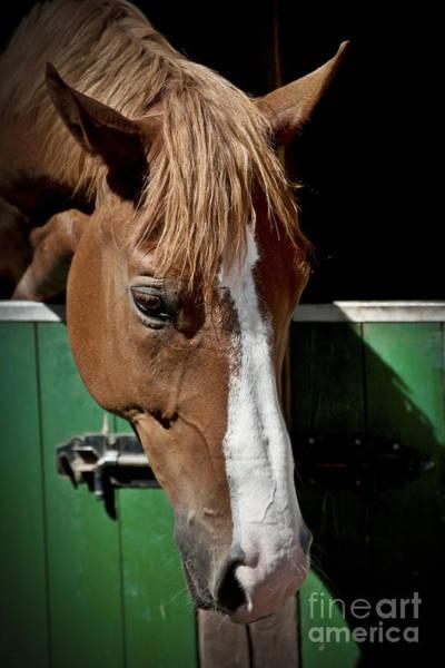 Photograph - Horse Portrait by Heiko Koehrer-Wagner