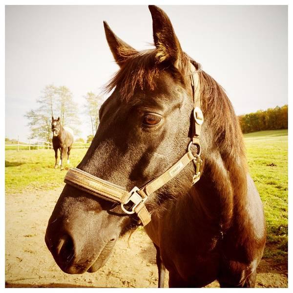 Portrait Photograph - Horse Portrait by Matthias Hauser