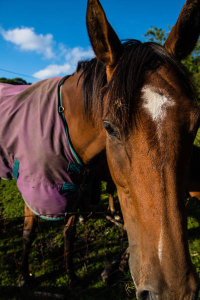 Photograph - Horse Portrait With Purple Blanket by Dennis Dame