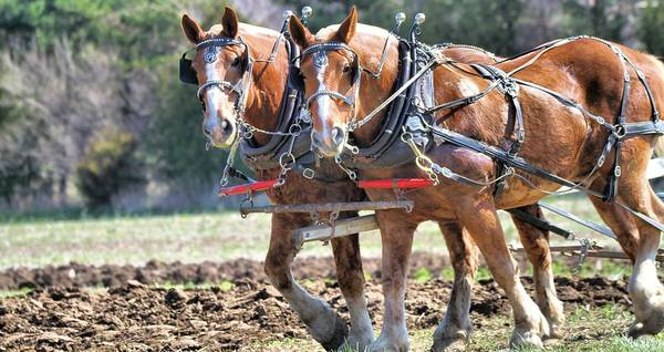 Plow Horses Photograph - Horse Pose by Dan Sproul